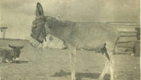 A Gallipoli Donkey Named Murphy